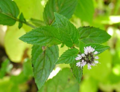 10 léčivých účinků máty peprné
