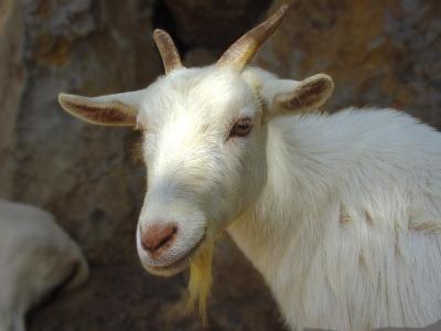 Kozí mléko – elixír krásy a dlouhověkosti