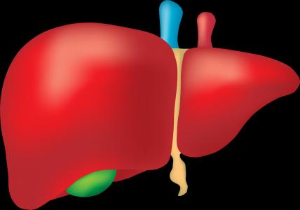 Játra patří k nejdůležitějším orgánům. Dokáží se samy regenerovat