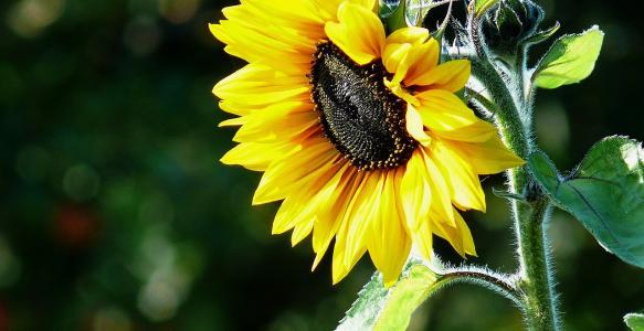Slunečnicový olej - tekutý elixír zdraví
