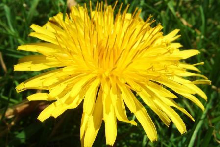 Kořen pampelišky - 10 užitečných účinků pro zdraví