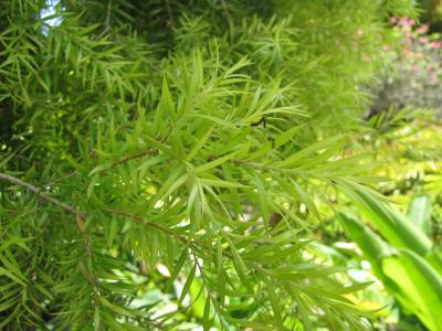 11 léčivých účinků tea tree oleje