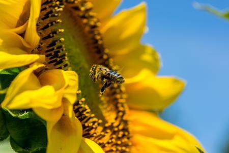 10 účinků slunečnicových semínek na zdraví
