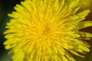 Pampeliška lékařská – léčivá bylina se zázračným vlivem na zdraví